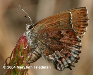 Frosted elfin butterfly