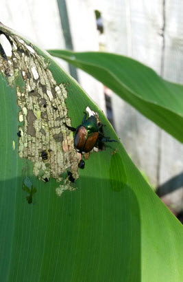 Japanese beetle on my canna