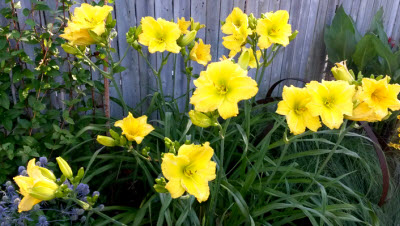 yellow lilies 2016