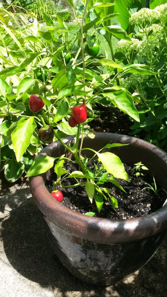 Pepper 'Cherry Bomb'