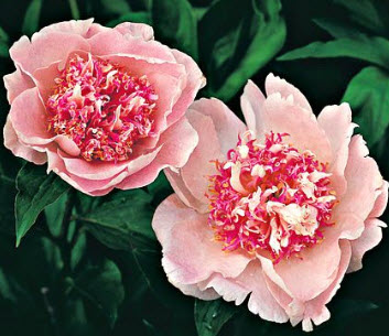 Peony 'Do Tell' does NOT need staking!
