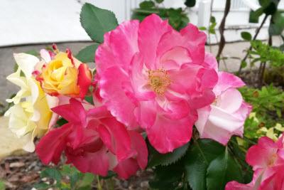 rose-10-2016