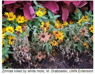 zinnias-with-white-mold