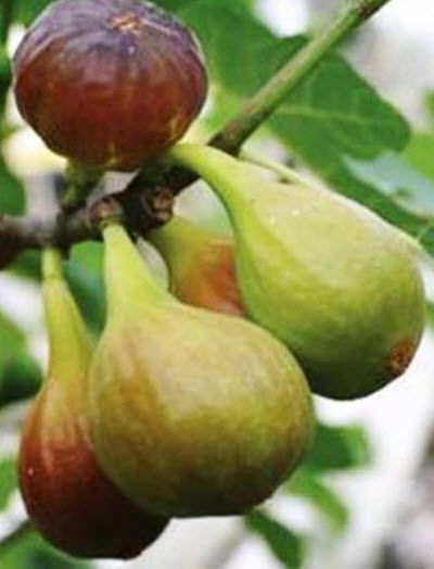 Fig 'Chicago Hardy'