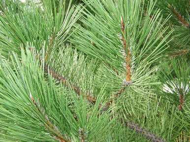 Norway pine needles