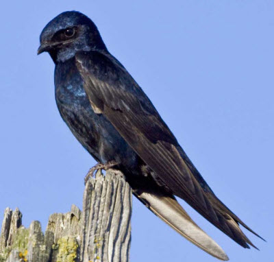 Purple martins breed during the summer months in much of the country