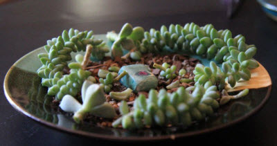 succulents-on-a-dish