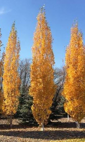 Birch 'Parkland Pillar' in Fall