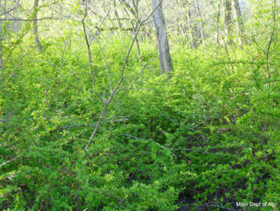 Japanese barberry thicket