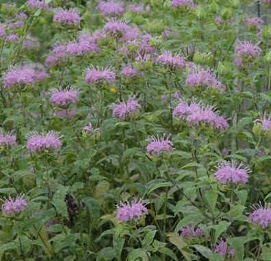 Bee balm - native