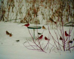 cardinals-in-winter