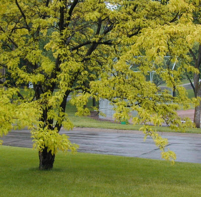 Honeylocust in Spring