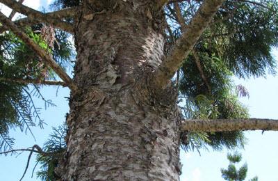 Norfolk Island Pine, Aust.