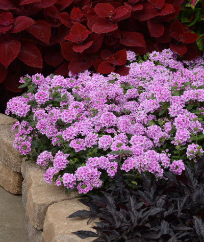 verbena-with-other-plants