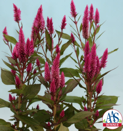 Celosia 'Asian Garden'