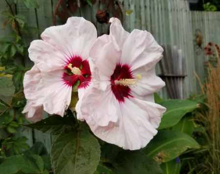 Hardy Hibiscus Aka Rose Of Sharon Garden Bite