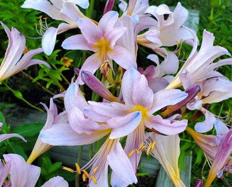 Garden Housecalls - Resurrection lily